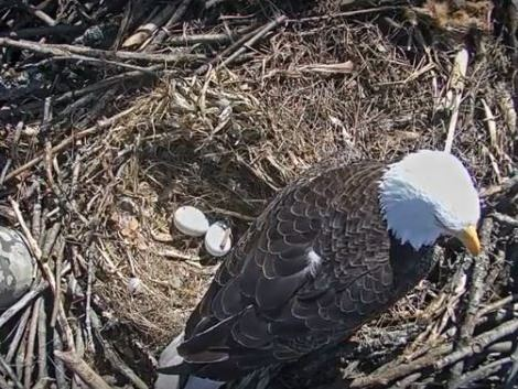eagle with 2 eggs